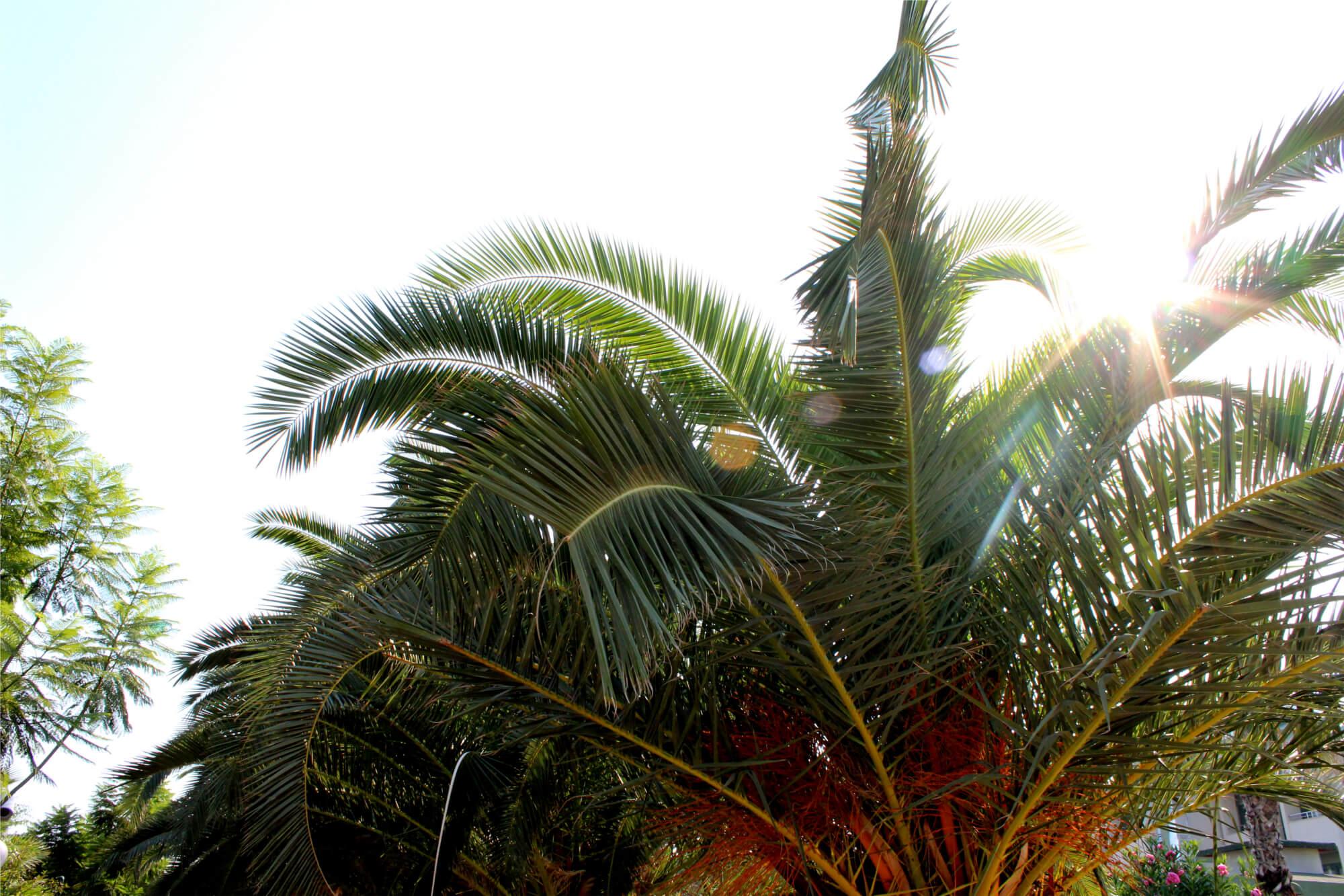 Palme im Hotel (Golden Beach)