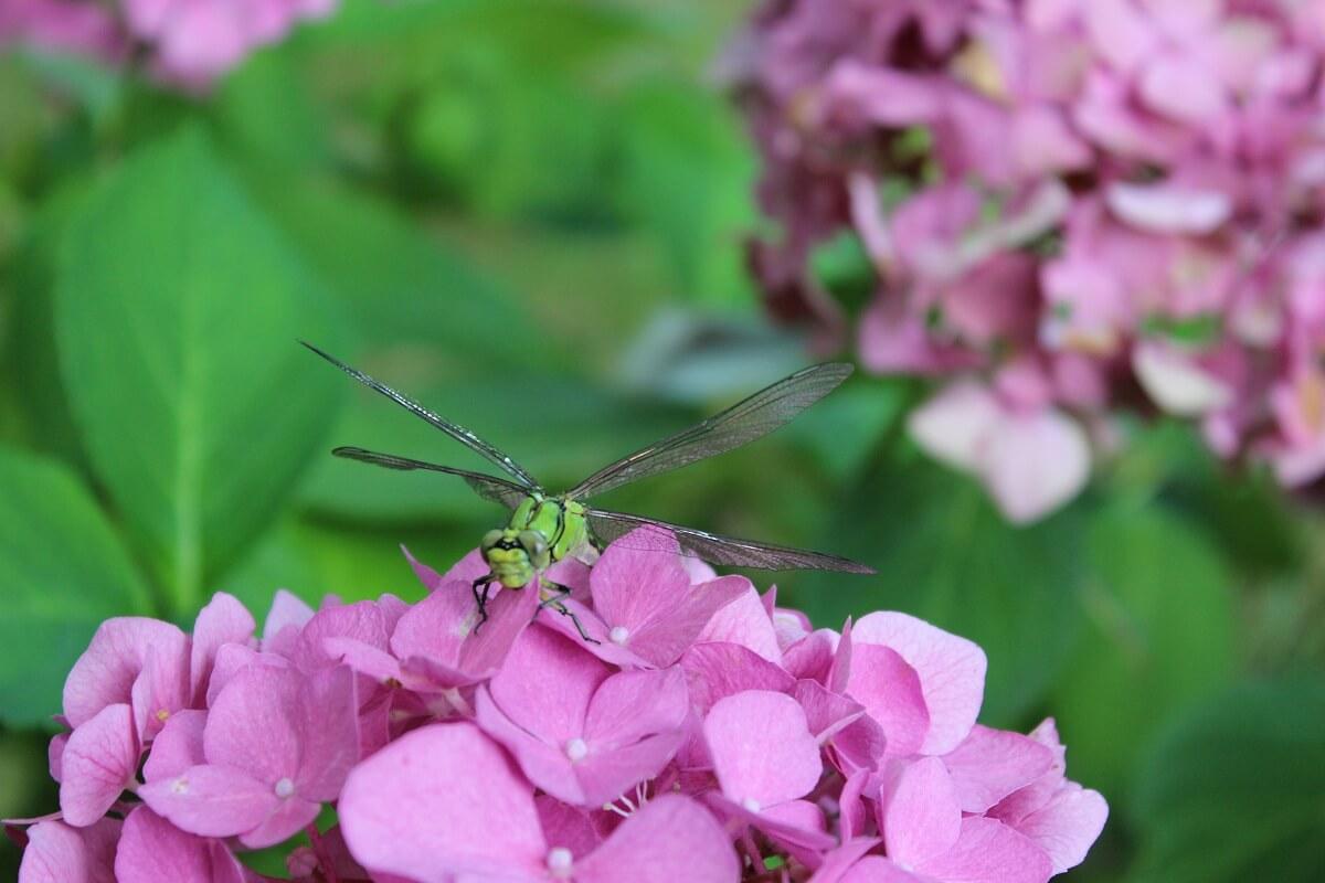 Eine Libelle in unserem heimischen Garten