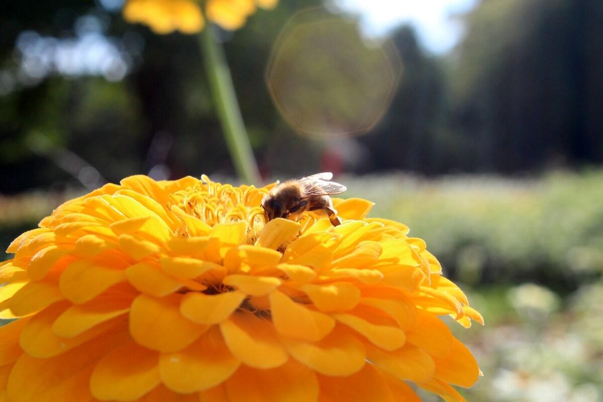 Eine Biene in einem Park in Stuttgart