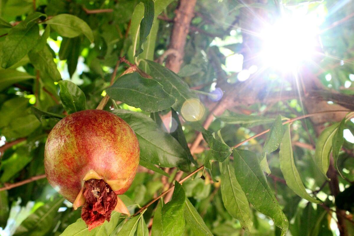 Ein Granatapfel im Hotel in Antalya